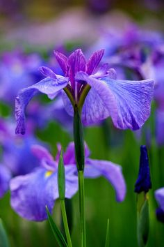 ~~Iris ensata by nobuflickr~~