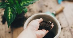 Här är fruktkärnorna du kan plantera – och så här gör du! | Allas.se Bra Hacks, Ganja, Tableware, Bra Tips, Mat, Gardening, Blog, Pineapple, Dinnerware