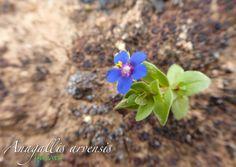 Huevito (Anagallis arvensis). Flora silvestre de Lanzarote. Canarias