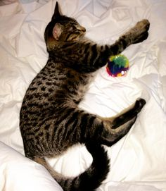 Playing fetch with my humans makes me sleepy  #cat #cats #kitty #kitten #pet #igdaily #petsofinstagram #meow #petstagram #followforfollowback #feline #furbaby #smile #brucejennerthecat #brucielicious #canadian #catoftheday #beautiful #cute #catsofig #catsofinstagram #followforfollow #follow4follow #followme #love #picoftheday #followback #happy #follow by brucejennerthecat780