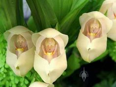 Baby in a Cradle......very rare flower