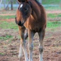 Cute little Friesian cross filly for sale on Epona Exchange! Click to see more of her adorableness!