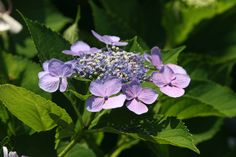 Hydrangea - Photograph by L.N. Martin