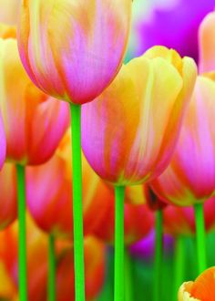 Tulips by Theresa Emerson - enGreet