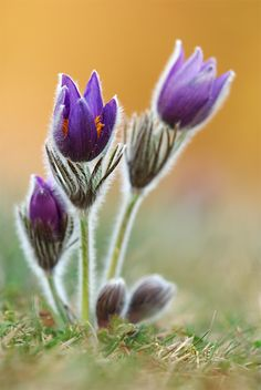 Pasque flowers found in North America, Europe and Asia.  'Family' - struller.