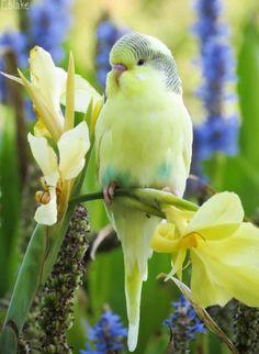Sweet little parakeet (budgerigar)