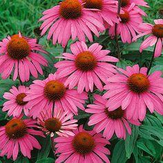 Kaunopunahattu Magnus - Viherpeukalot Pink Perennials, Garden Pond, Annual Plants, Fall Season, Grape Vines, Seasons, Spring, Green, Flowers