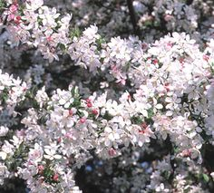 Flowering Crabapple              Japanese flowering crabapples are small to midsized trees ranging in habit from low mounds to upright, narrow, or weeping types. In spring, they are covered with fragrant white, pink, or red flowers, and in fall with small yellow, orange, or red apples. Many have attractive branching that's revealed in winter. Look for newer varieties that are disease resistant and that hold their fruit into the winter