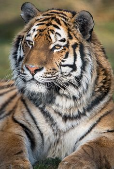 llbwwb: For the tiger lovers:) (by Dave learns his Dig SLR?)