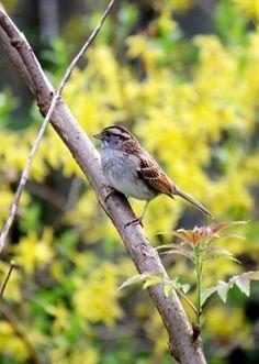 song sparrow, photo Brendan Zwelling, Garden Making