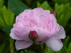 'Mary' rose | Flickr - Photo Sharing!
