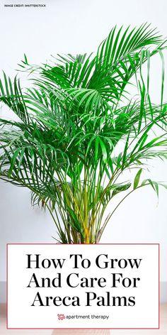 Areca Palm Care, Palm Plant Care, Bamboo Plant Care, Palm Tree Care, Areca Palm Plant, Palm Tree Plant, House Plant Care, Bamboo Plants, Trees To Plant