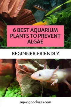 Looking for the best aquarium plants to prevent algae? Well, in this article, I'm going to show you the 6 best aquarium plants to put in your tank to control algae. You can use these plants and turn your freshwater tank into a planted tank. #aquarium #freshwateraquarium #fishtank #plantedtank #aquascaping