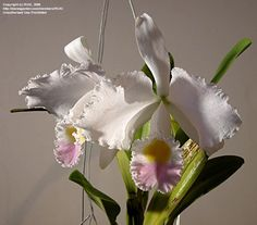 Bloom for December 11, 2012: Christmas Orchid (Cattleya trianae). Photo by RUK.