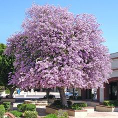 Purple Orchid Tree, love it Orchid Tree, Orchid Plants, Deciduous Trees, Flowering Trees, Outdoor Landscaping, Outdoor Gardens, Valley Nursery, Baumgarten, Specimen Trees