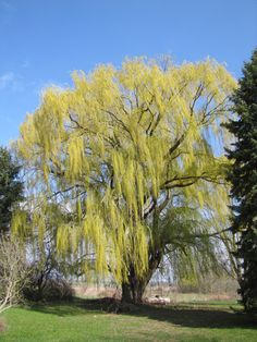 Weeping willow getting spring leaves