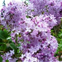 The beauty and fragrance of lilac flowers blooming is for many, an eagerly anticipated sign that spring has arrived.    Although not native to North...