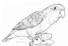 Sally Blanchard - Pen Drawing White-bellied Caique on hand Parrot Drawing, Parrot Painting, Painting & Drawing, Caique Parrot, Drawing Projects, Diy Projects, Coloring Pages, Colouring, Bird Art