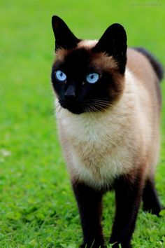 Beautiful! Like a younger version of cracker! He just needs bigger cheeks lol #SiameseCat