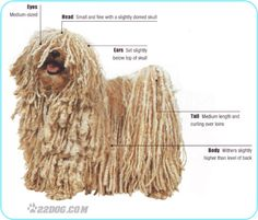 Over 165 of the most popular dog breeds all with pictures, information and Care Requirements. Pumi Dog, Hungarian Puli, Komondor, Goofy Dog, Most Popular Dog Breeds, Herding Dogs, Dog Show, Dogs Of The World, Little Dogs