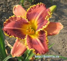 Лилейники, лилии - стр. 4 - Цветы - ВИНОГРАДНАЯ ЛОЗА