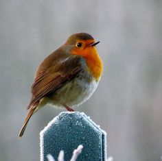 Robin In The Frost. - Gallery - Lynne Eccles | pmp-art.com