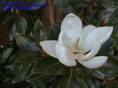 Full size picture of Southern Magnolia 'Little Gem' (<i>Magnolia grandiflora</i>)
