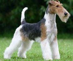 Fox Terrier Wire http://www.mascotadomestica.com/razas-perros/fox-terrier-wire.html