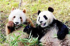 "Brown Panda ""ChiZai"" was found in Shaanxi, Pandas say goodbye to black and white photo!"
