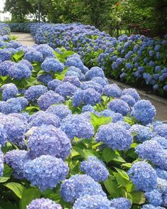 Trip to Japan - cool image Peonies And Hydrangeas, Hydrangea Care, Hydrangea Flower, Amazing Flowers, Blue Flowers, Beautiful Flowers, Hydrangea Landscaping, Garden Landscaping, Blue Garden