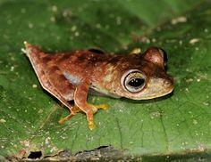 A rã-cowboy (Hypsiboas sp.) pode ser uma espécie nova para a ciência. Ela foi encontrada durante expedição  ao Suriname.