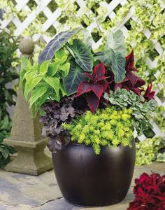 Great coleus, alocasia, huechera shade combo pot!  Might have to sub torenia for angelina sedum for sun requirements.