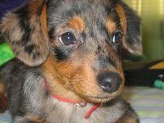 "Dorgi! Dashund & Corgi. It is a ""lowrider"" dog."