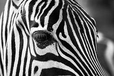 Zebra, Stripes, In Bianco E Nero