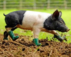 take off those boots piggy! piggies don't wear boots!