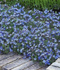 Steinsame (Lithodora) - Winterharter Bodendecker. Die Steinsame eignet sich besonders für Steingärten, Kiesgärten, zur Hang- und Mauerbegrünung, in Kübeln und Pflanzschalen, an Wegrändern, als Bodendecker und Vordergrundpflanze in Blumenbeeten und Staudenrabatten - Standort: Die Steinsame benötigt einen gut durchlässigen, nährstoffreichen, sauren Boden an einem vollsonnigen Standort. Dabei eine vor rauen Winden geschützte und möglichst  warme Stelle wählen.