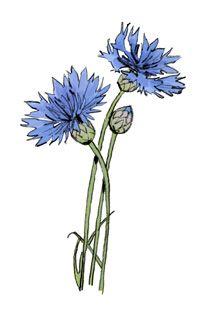 vi_election_fp_cornflower.jpg (205×312)