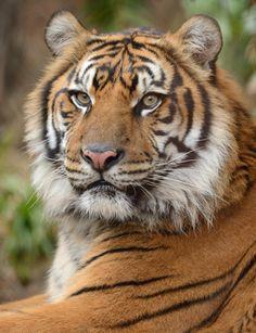 Sumatran Tiger (SDZoo) - Teddy. Photograph by Mike Wilson (do not remove credit)