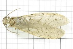 Dobsonfly (Female): Order Neuroptera: Suborder Megaloptera: Family Corydalidae (top) J. Cauthorn