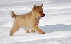 Finnish Spitz puppy in the snow
