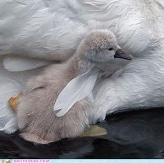 first swim.Photo by Piet Flour Swans, Beautiful Birds, Animals Beautiful, Eagles, Baby Animals, Cute Animals, Animal Babies, Fur Babies, All Nature