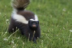 Seemingly benign skunk deterrent can be dangerous for cats Rip Current, Choppy Water, Shark Swimming, Tips & Tricks, Lightning Strikes, Warning Signs, Natural Disasters, Mammals, Waves