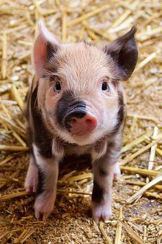 Sitting baby pig
