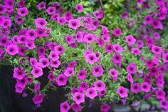 """Petunia integrifolia """"evening scented"""""""