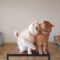 10 Pictures Of Extremely Lovey-Dovey Cats That Will Melt Your Heart - World's largest collection of cat memes and other animals Cute Baby Cats, Cute Kittens, Cute Baby Animals, Animals And Pets, Cats And Kittens, Funny Animals, Pretty Cats, Beautiful Cats, Gatos Cats