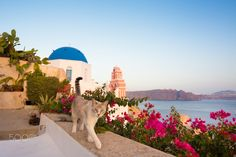Domestic cat looking over world famous traditional whitewashed chuches and houses of Oia village on Santorini island, Greece.