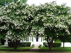 I love magnolia trees. They feel like home and the blossoms are beautiful.