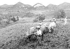 fields of Puerto Rico circa 1940