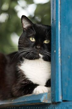 A Tuxedo Kitty Looks Out The Window: