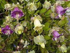 Cobaea scandens (cobée). Grimpante, annuelle (non rustique).